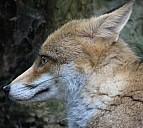 Der Fuchs, ein Fabeltier - (c) Liane/pixelio.de