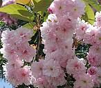 Japanische Kirschblüte - (c) Rainer Brückner/Pixelio.de