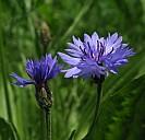 Die blaue Blume, Symbol der Romantik - (c) Angelika Lutz/PIXELIO