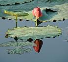 Lotus - (c) M. Schweizer/PIXELIO